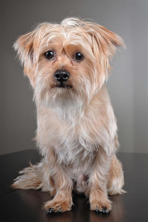 do shorkie puppies shed shorkie tzu breed 187 everything about shorkie tuzs