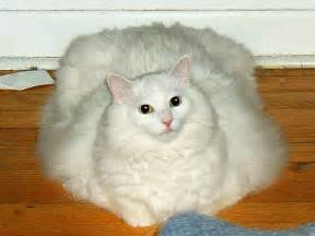 obese cat obese cats how to help your cat lose weight