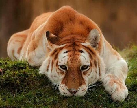 The Majestic Rare Golden Tiger Wow Amazing