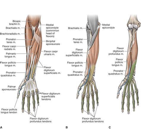 Anatomy Of The Wrist - Anatomy Drawing Diagram