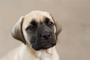 File:Bullmastiff puppy fawn portrait.jpg