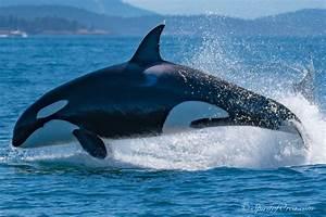 Spirit Of Orca Friday Harbor San Juan Island Whale Watching