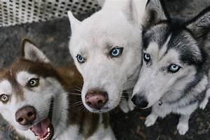 All White Siberian Husky For Stud in - Hoobly Classifieds