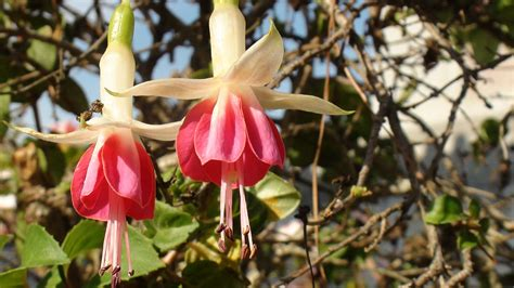 fuchsia name fuchsia wikipedia