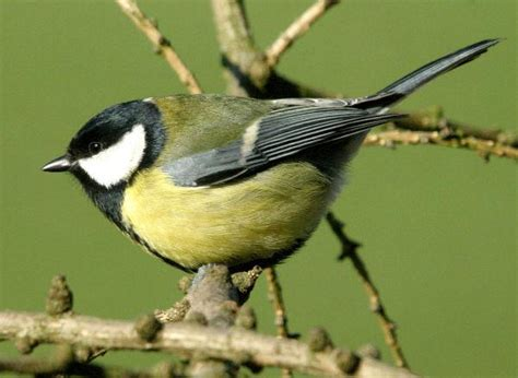 Verdone - wildlife garden Italia