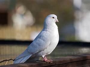 Cool Animals Pictures: White Dove Background Wallpapers ...