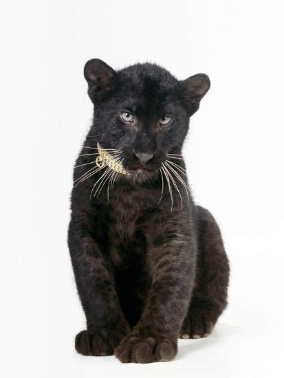 Black Panther Cub 16 Weeks Old Photographic Print At