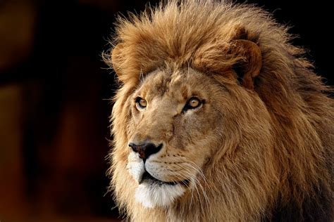 Hd Lion Wallpapers  Desktop Wallpapers