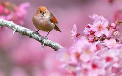 Spring Bird Tree Flowers Birds Background Animals