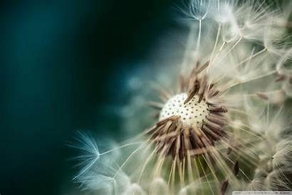 Macro Dandelion Seeds 4k Wallpapers Desktop