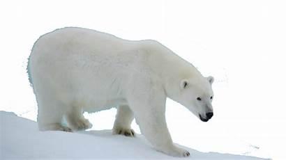 Polar Bear Animals Pngimg
