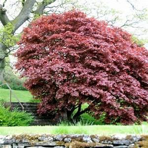 Arbres Fruitiers Nains En Pleine Terre : erable du japon 39 bloodgood 39 plantes et jardins ~ Premium-room.com Idées de Décoration