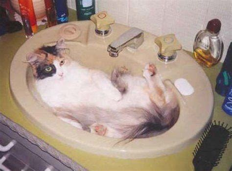 Can You Shower A Cat - i give my cat a bath in the sink cats usually do not like