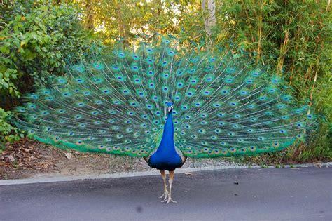 Peacock  National Bird Basic Facts & Information Beauty