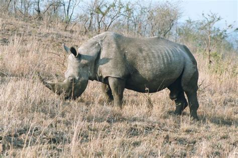 rhinoceros ungulate toed odd facts largest 2003 male living