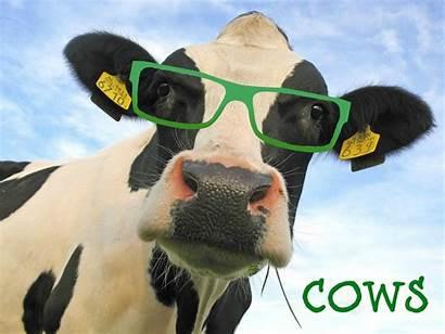 Cow Funny Lockscreen