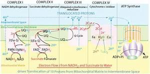 Metabolics Electron Transport