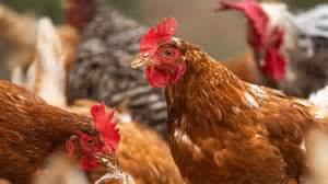 Avian flu, or bird flu, refers to a group of diseases that result from infections with specific influenza viruses. Clucking hell! New outbreak of BIRD FLU sees thousands of chickens culled in coronavirus ...