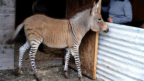 zebra donkey baby happens
