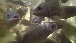 Aquaponics  Tilapia In The Fish Tank
