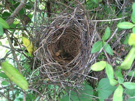 Species in My Yard, Part Two - Three Bird Nests