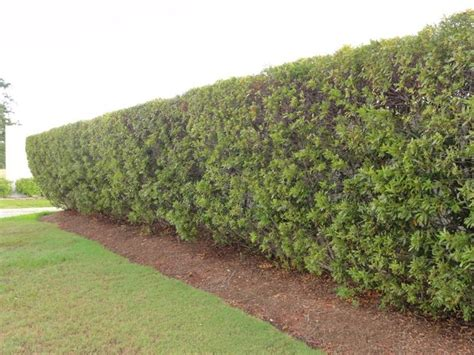 southern wax myrtle picture plants    privacy
