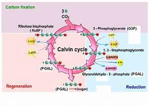 Biology Form 6  Dark Reaction  Light Independent Reaction