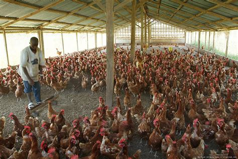 chicken farm dutch firm to invest in poultry aquaculture spread