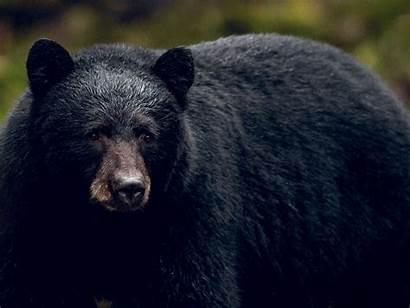 Bear Friends Wild Friendship Offered Incredible Readersdigest