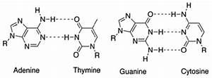 Watson Crick Base Pairing Between Adenine   Thymine And