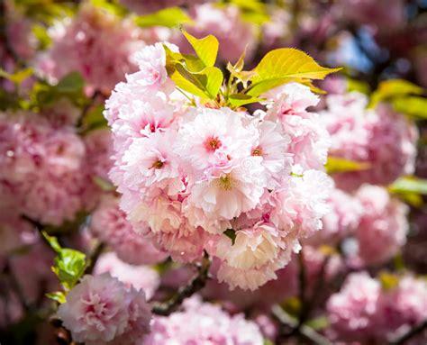 Sakura Cherry Blossom Branch Stock Photo Image of japan