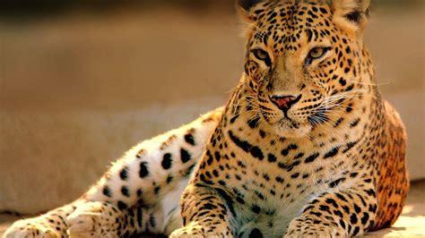 豹子图片大全-豹子的图片-豹子图片简笔画图片-老虎图片大全大图图片-老虎图片