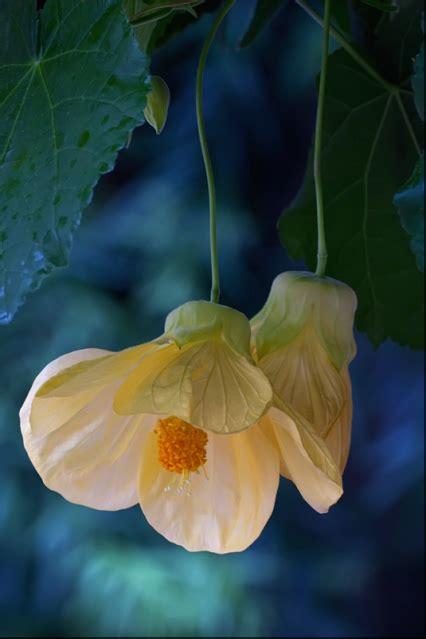 diffenbaugh il linguaggio segreto dei fiori abutilon meditazione dal libro il linguaggio segreto