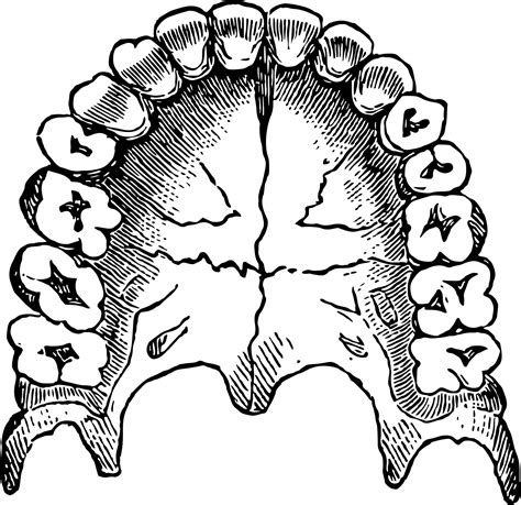 teeth related  body parts lilias ahmeira