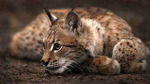 Animals Cat Lynx Wallpapers HD Desktop And Mobile