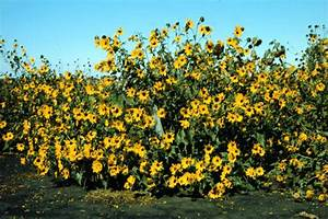 Common Annual Sunflower  Helianthus Annuus  The Progenitor