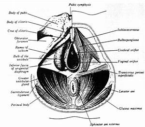 Diagram Shows View Of Female Perineal Anatomy Typical Of