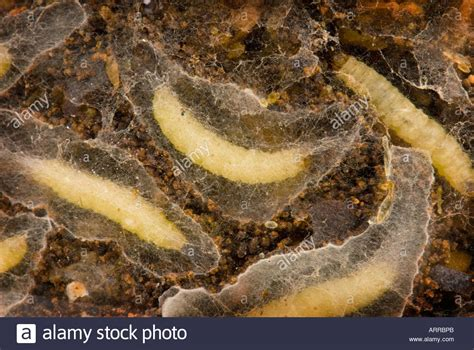 http://www.alamy.com/stock-photo-indianmeal-moth-indian-meal-plodia-interpunctella-stock-store-grub-9207722.html