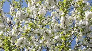 Die Schönsten Gartenbäume : gef lltbl hende vogelkirsche prunus avium 39 plena 39 ~ Michelbontemps.com Haus und Dekorationen