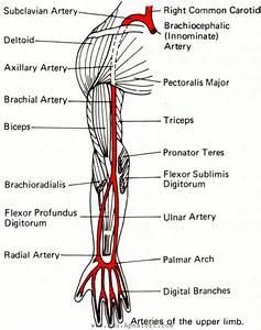 Important Seqs Of Upper Limb