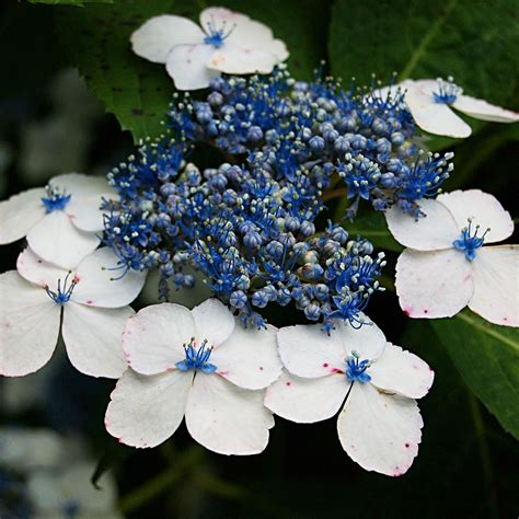 lacecap hydrangea pruning one fell out of the cuckoo s nest pruning hydrangeas