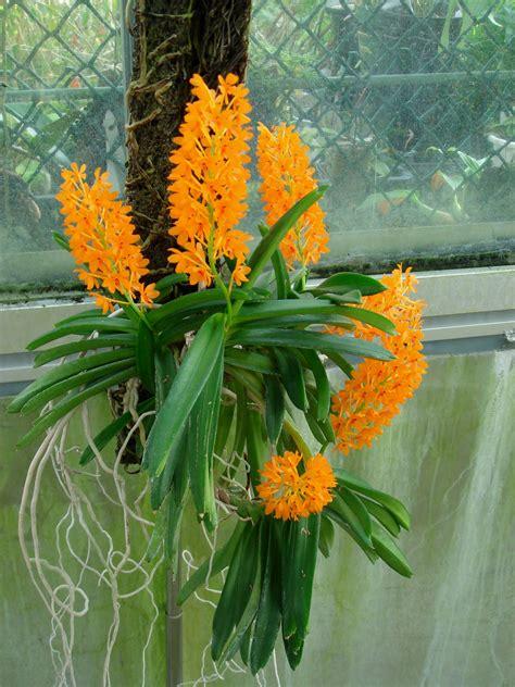 hoa phong lan viet vietnam orchids ascocentrum garayi