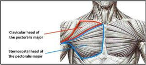 Diagram Pectorali Major by Ultimate Chest Workout To Complete Your Pecs
