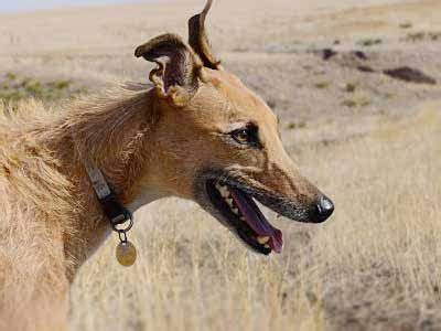 american staghound information characteristics facts