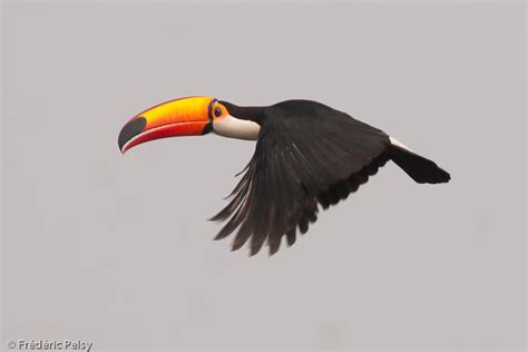Gallery Of Toco Toucan (ramphastos Toco)