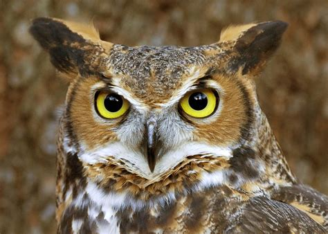 great horned owl sound call youtube
