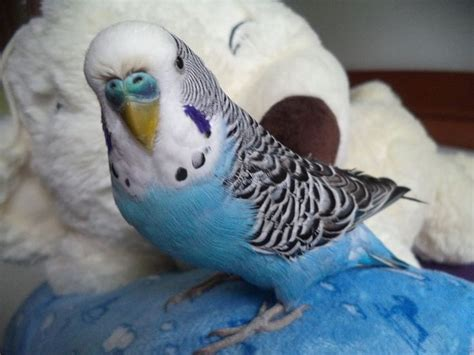 1000+ Images About Cute Budgie Things! On Pinterest