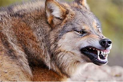 Wolf Growling Animals Wolves Foxes Wallpapers Wild