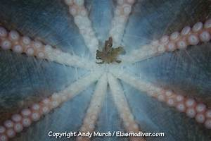 Giant Pacific Octopus Attack
