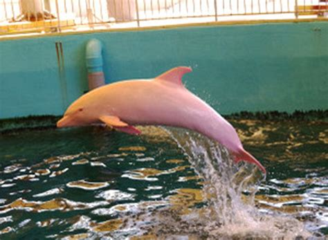 Baffling Scientists, This Rare Albino Dolphin Turns Pink